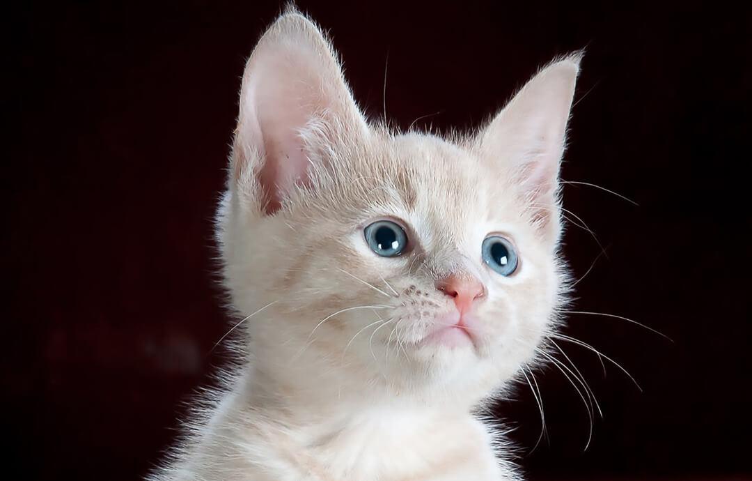 White Cat Watching – PetsForever