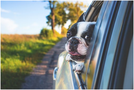 Dog watching from car window - PetsForever