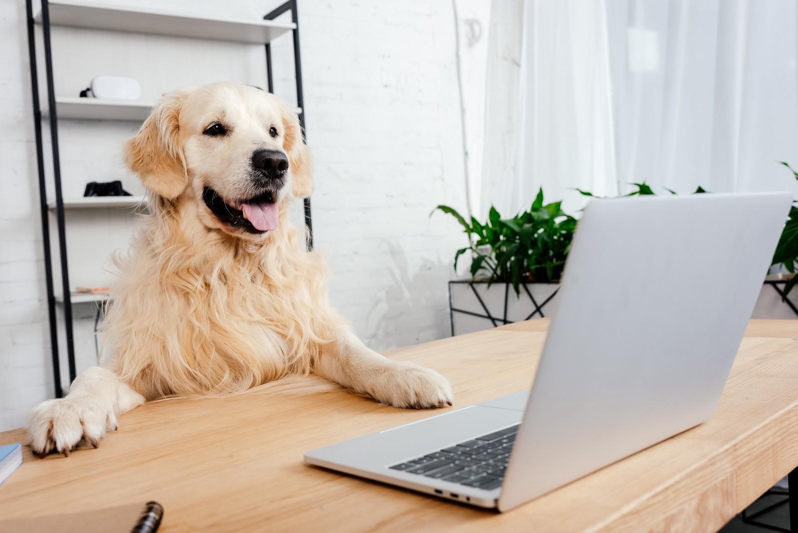 Dog Watching Laptop