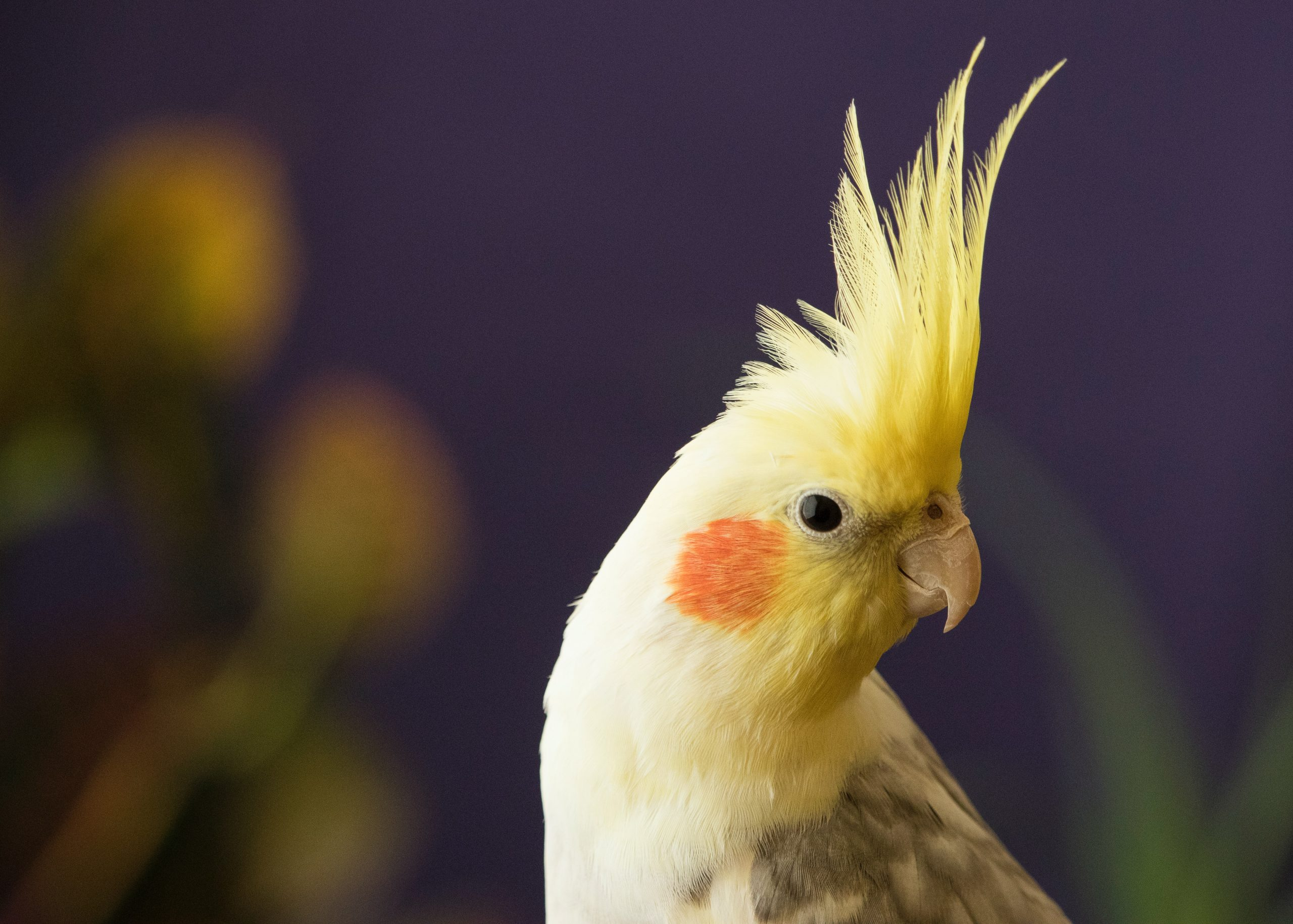 How to make your Cockatiel happy in 5 easy steps!