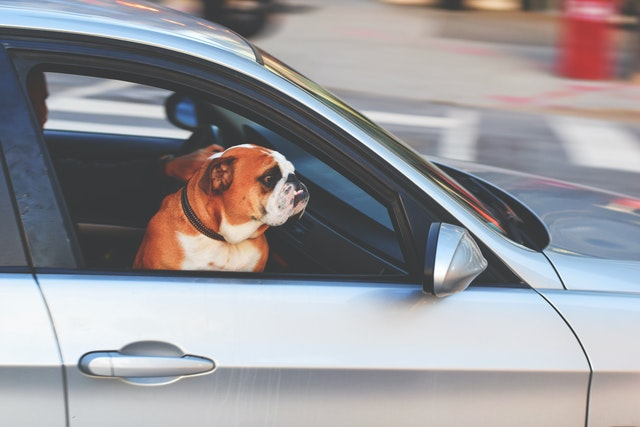 What are the road rules for transporting pets in cars?