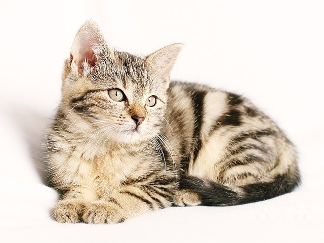 Where to buy a cat?