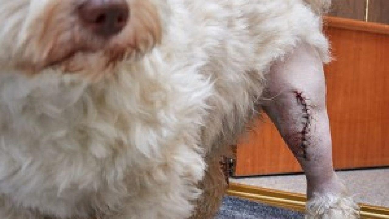 luxating-patella-surgery-in-dog-havanese