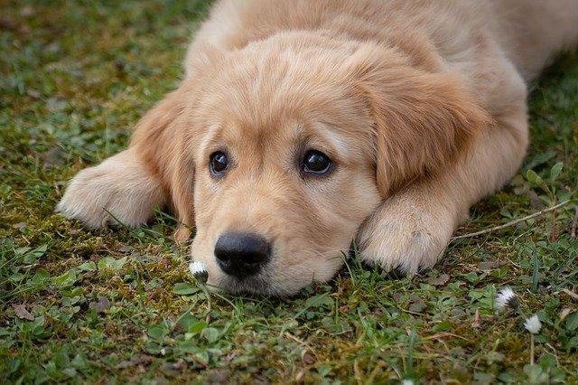 Dog Lying on Grass